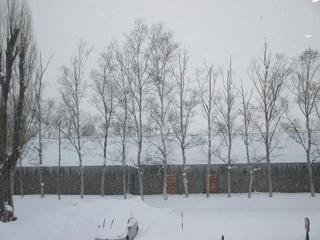 10本以上の白樺の木