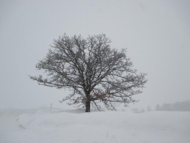 カシワの木