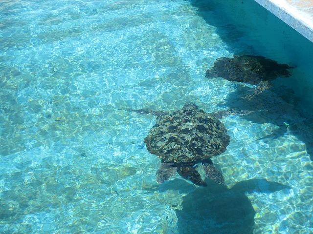 水槽で泳いでいるウミガメ