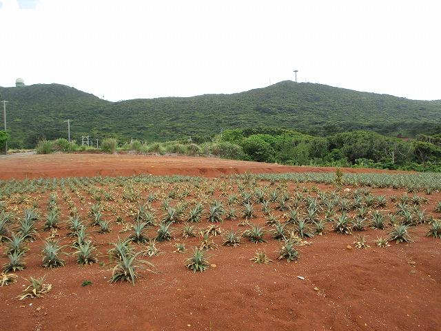 パイナップル畑1