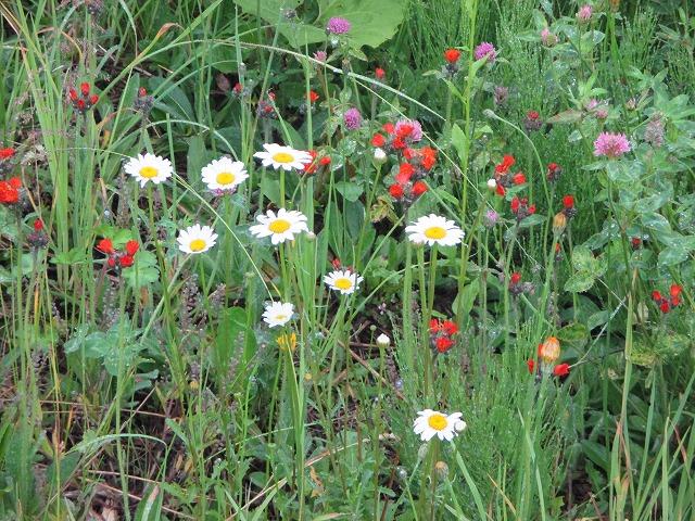 マーガレットと赤い小花