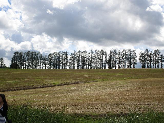 伐採前のマイルドセブンの木