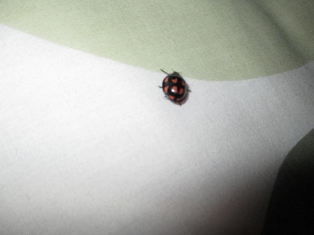 ハート柄のてんとう虫
