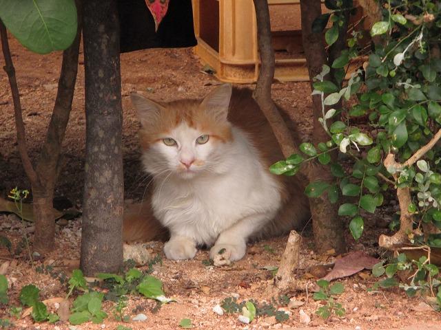 白と茶柄の猫