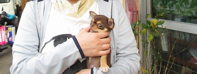 小さな茶色のチワワを抱く女性