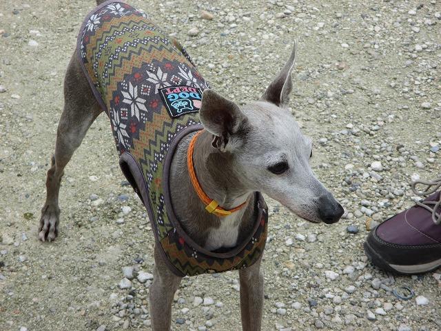 服を着た細い犬