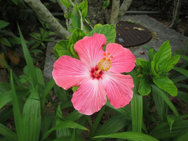 ピンク色のハイビスカス
