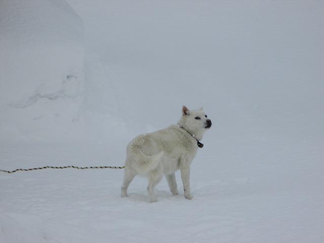 振り返る白い犬