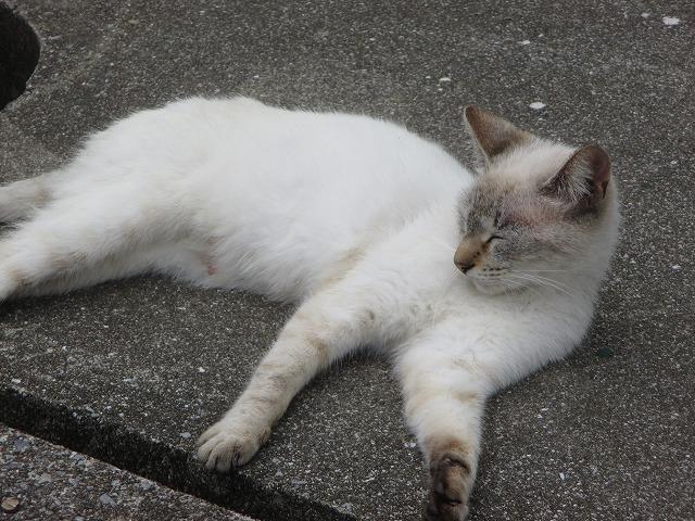寝そべる白い猫
