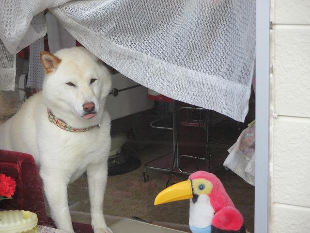 舌が出ている白い犬