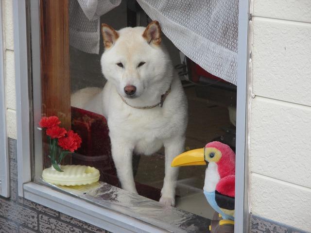 窓から見ている白い犬