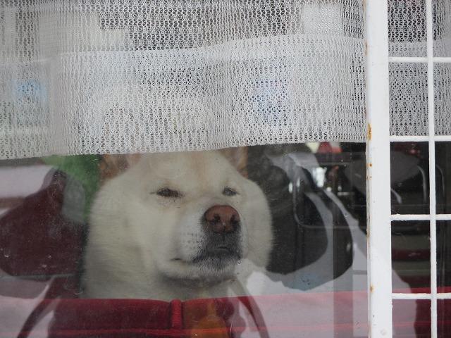 窓から外を眺めている犬