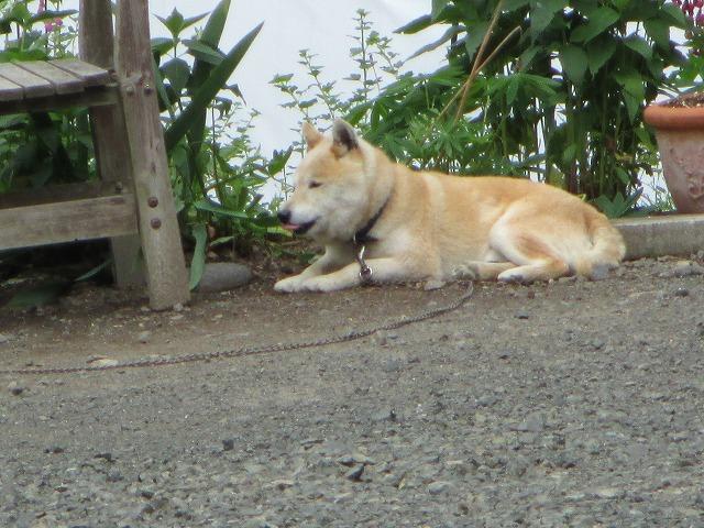 薄茶色の犬