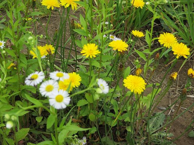 白と黄色の小花