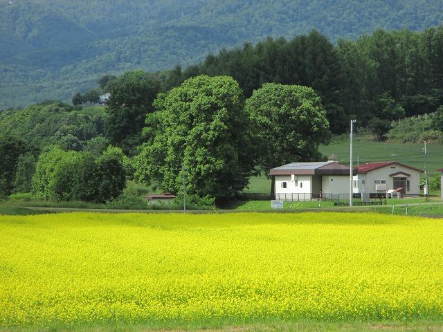 一面の黄色い花