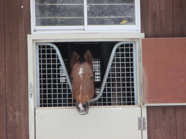 きゅう舎から顔を出す馬