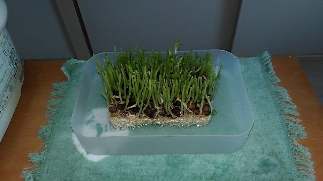 上から見た茎を切った1日目の豆苗