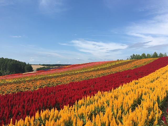 四季彩の丘の花畑