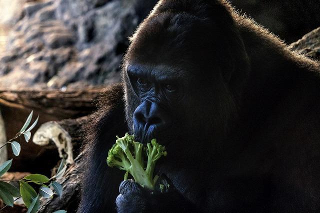 野菜を食べるゴリラ