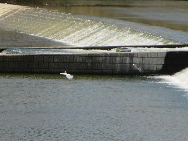 川の中にいる白い鳥