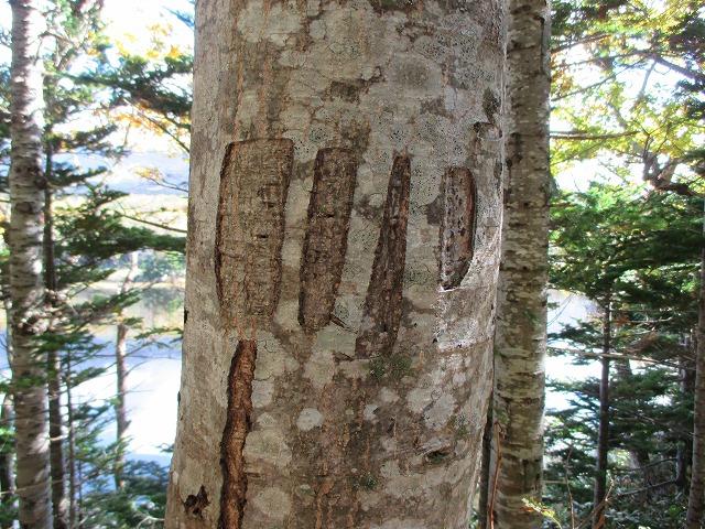 木に付いたヒグマの爪痕らしきもの