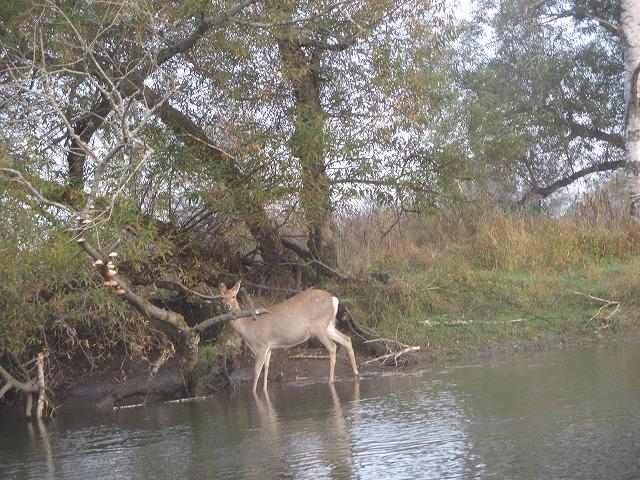 川に入っているエゾシカ