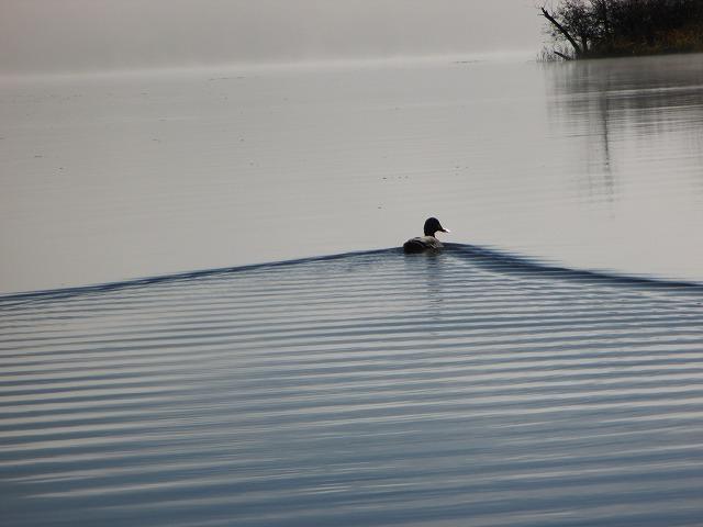 湖面を泳ぐカモ
