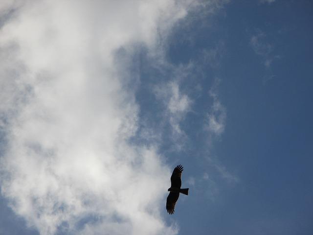 空を飛ぶトンビ