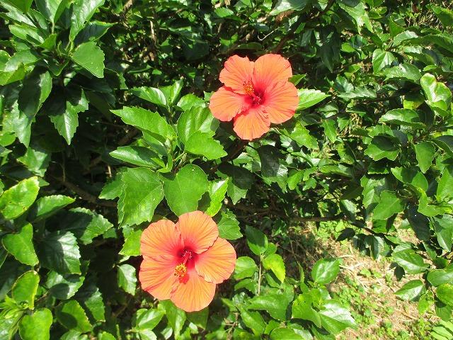 赤いハイビスカスの花