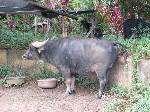 水牛の背中にカラス