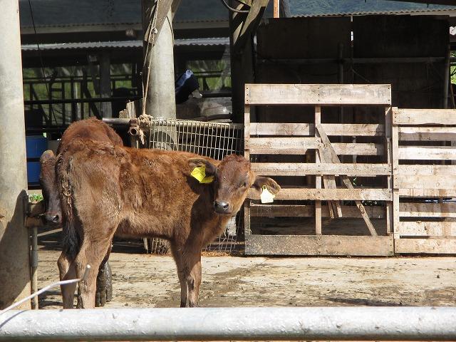 茶色の子牛