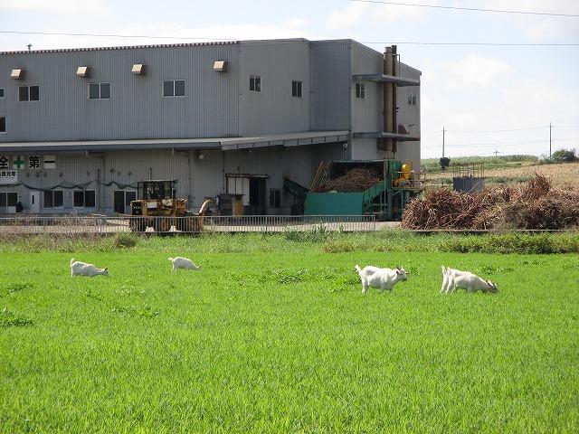 製糖工場前のヤギ