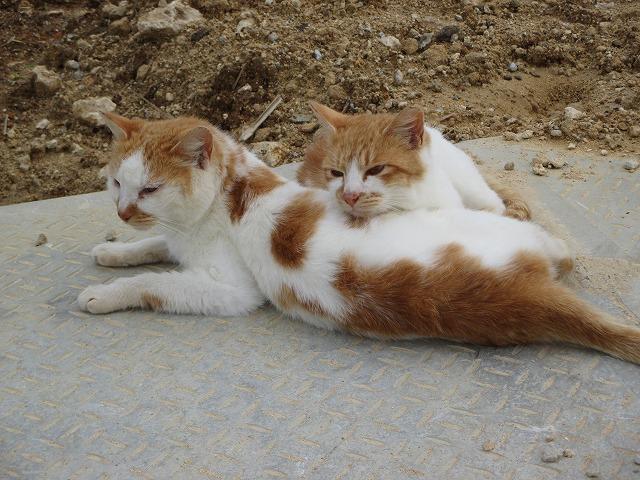 2匹の白茶猫