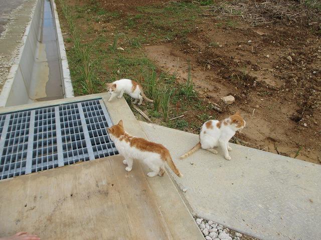3匹の白茶猫