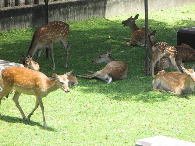日陰で休憩する母鹿