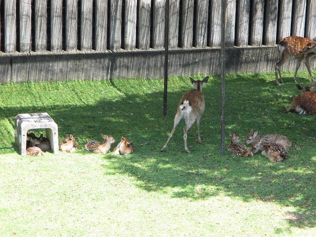 母鹿出産・子鹿の足が少し出ている