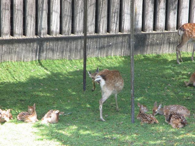 母鹿出産・子鹿の足がかなり出ている