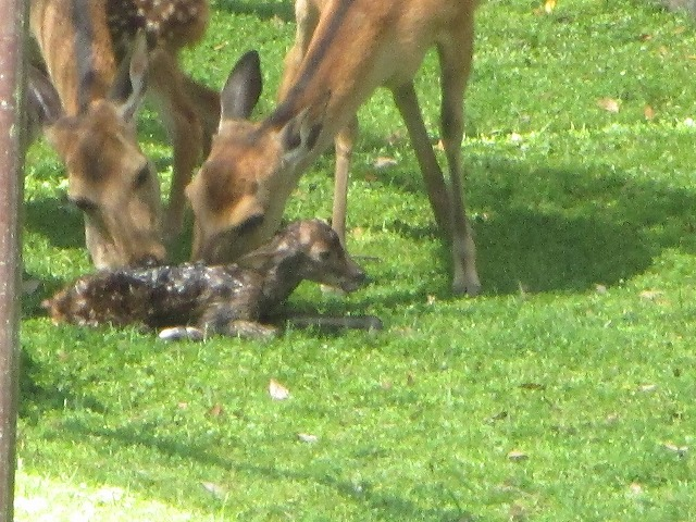 産まれたての子鹿