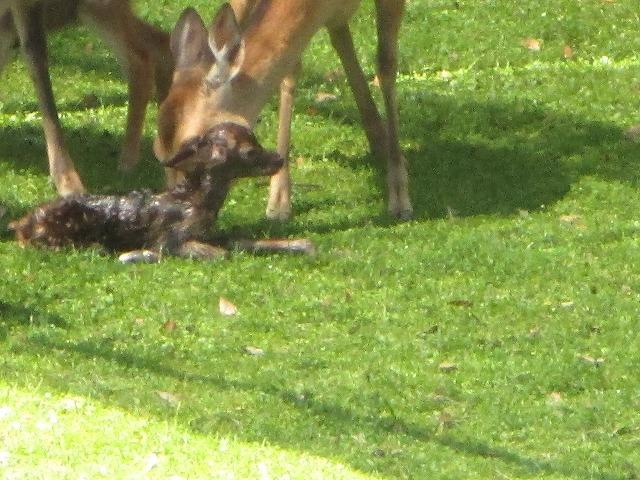 子鹿を舐める母鹿