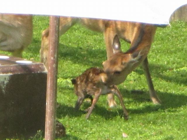 立とうとしている子鹿