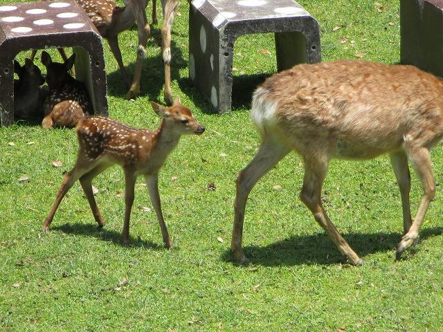母鹿の後ろを付いていく子鹿