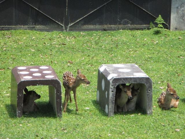 日陰ブロックに入る子鹿達