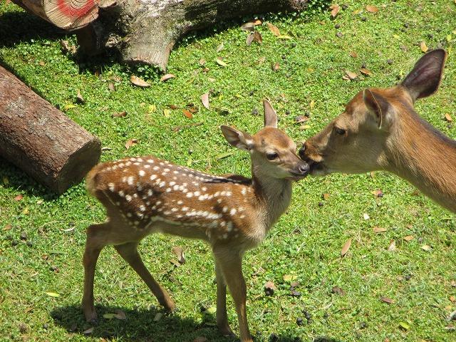 母鹿に顔を舐められる子鹿