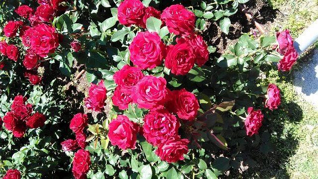 たくさんの赤いバラ