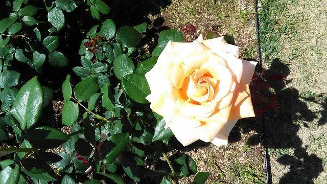 黄色味がかかった一輪のバラ