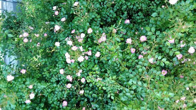 小さい種類のピンクのバラ