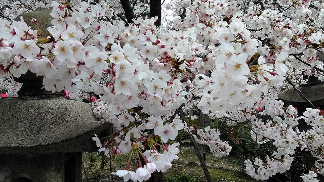 桜のアップ