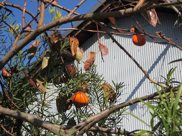 木になる2つの柿