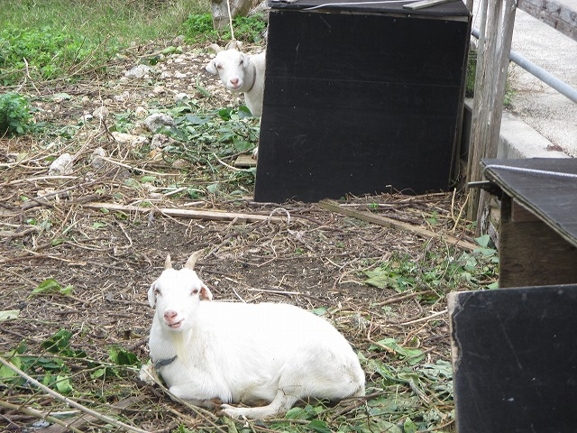 白いヤギ2匹